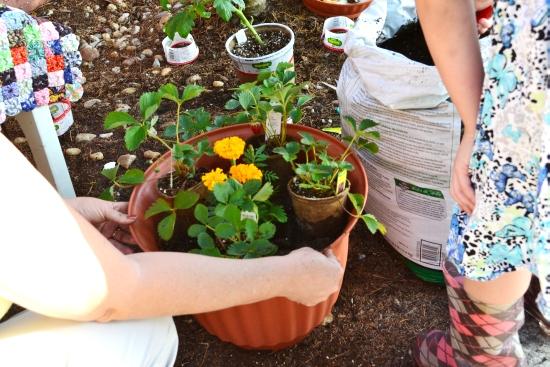 strawberry plants, edible gardening, Earth Day, Bigelow Tea