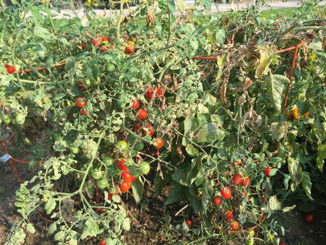 Tomato-plants-for-a-salsa-garden via flouronmyface.com