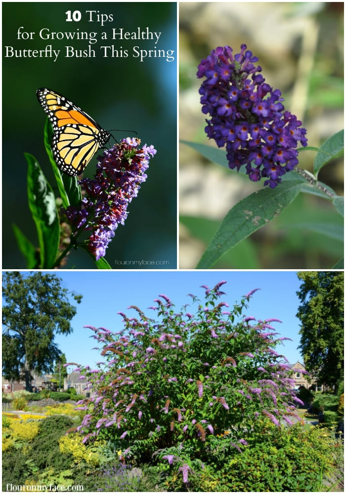 Gardening Tips for growing a beautiful Butterfly Bush this Spring via flouronmyface.com