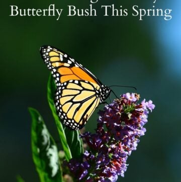 10 Tips to Growing a Healthy Butterfly Bush this Spring via flouronmyface.com