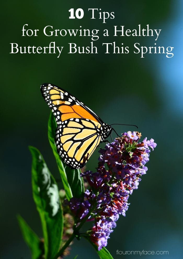 10 Tips for Growing a Healthy Butterfly Bush this Spring via flouronmyface.com