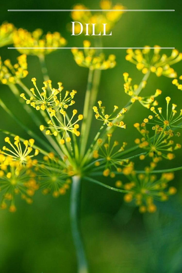 Grow fresh Dill in your kitchen garden via flouronmyface.com