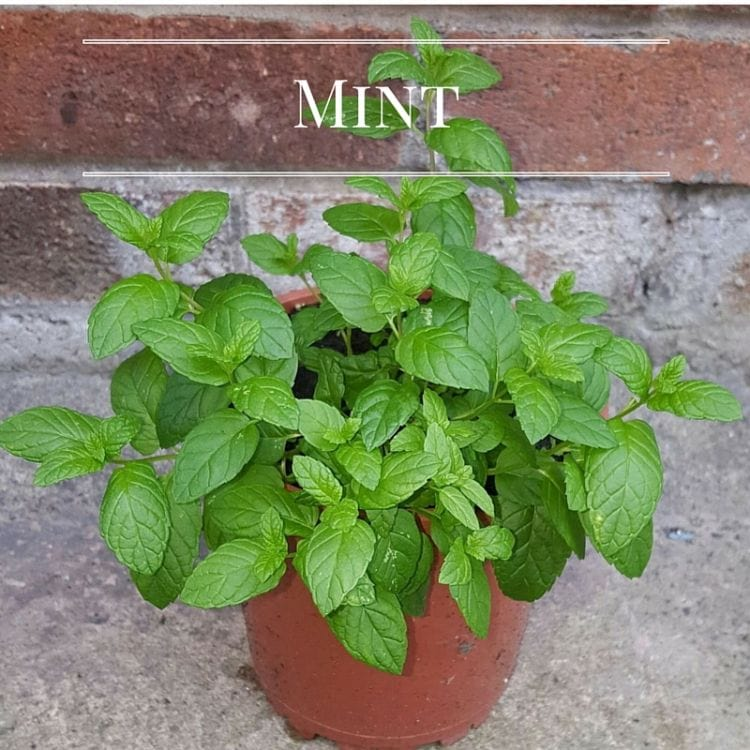 Grow fresh Mint in your Kitchen Garden via flouronmyface.com