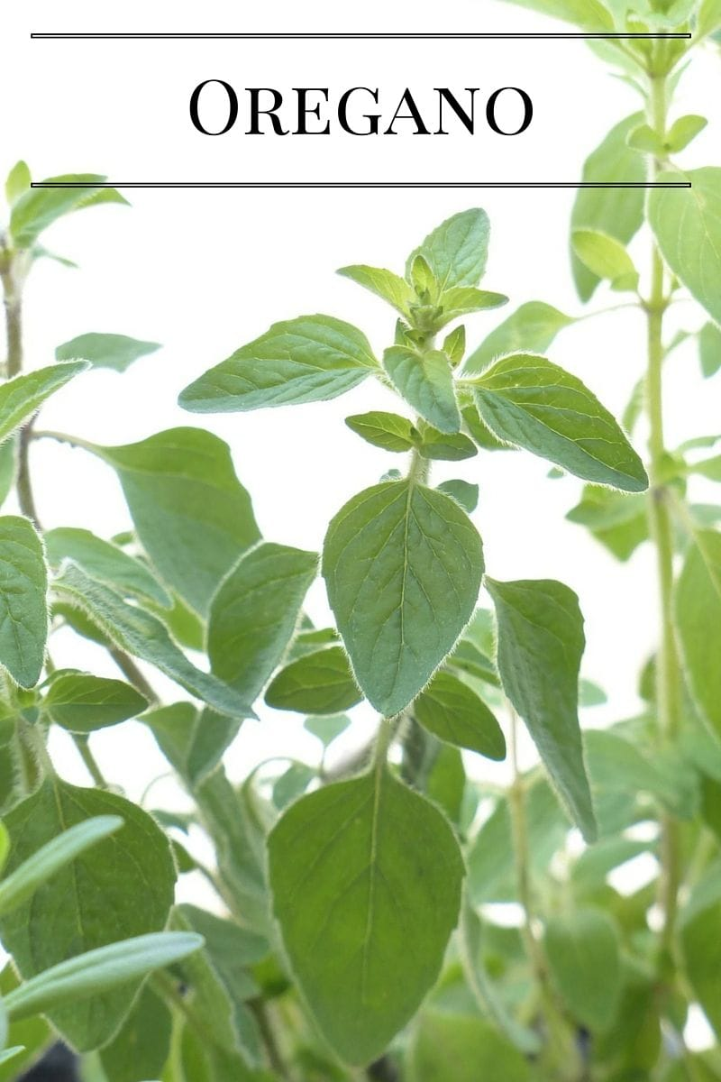 Grow fresh Oregano in a Kitchen Garden via flouronmyface.com