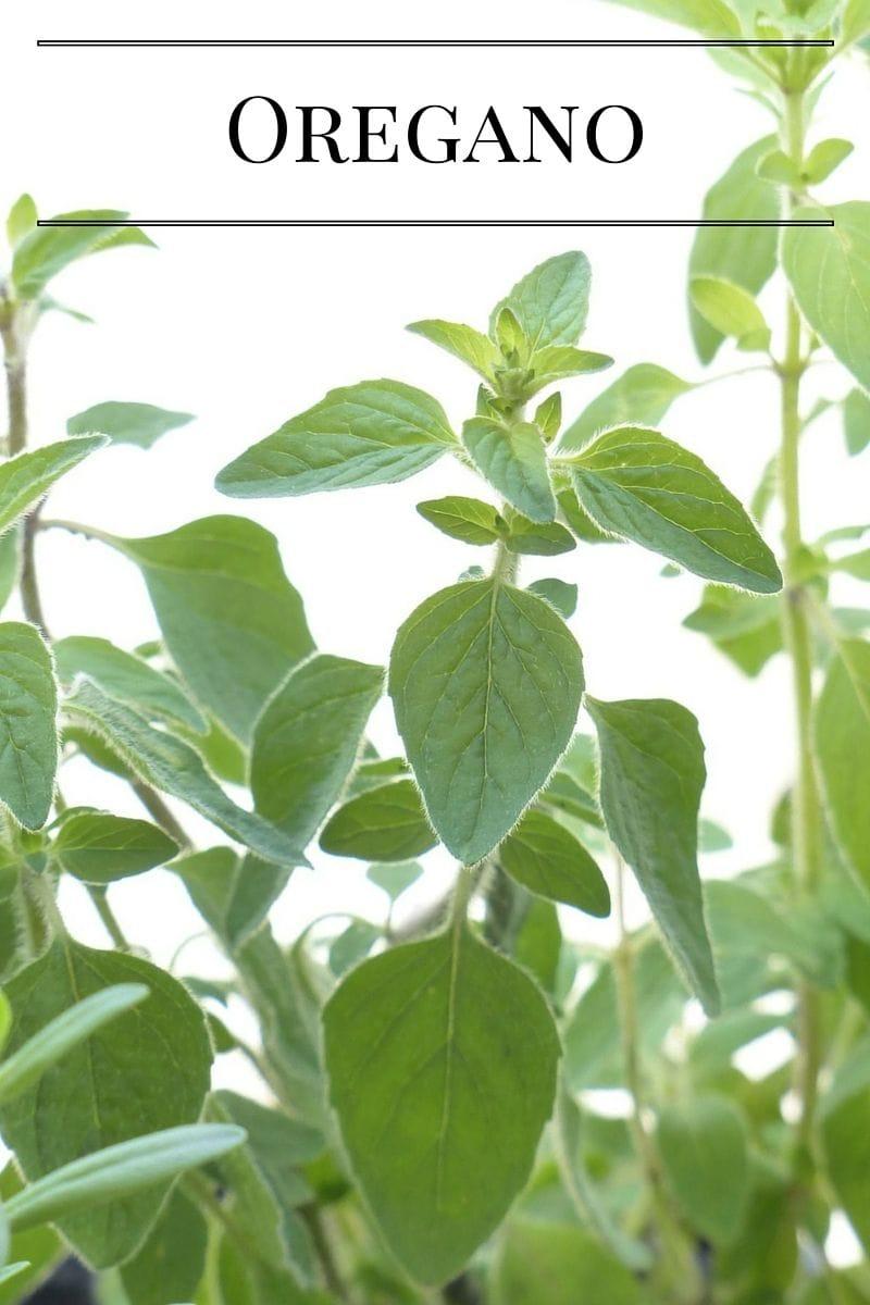 Grow fresh Oregano in a Kitchen Garden via flouronmyface.com
