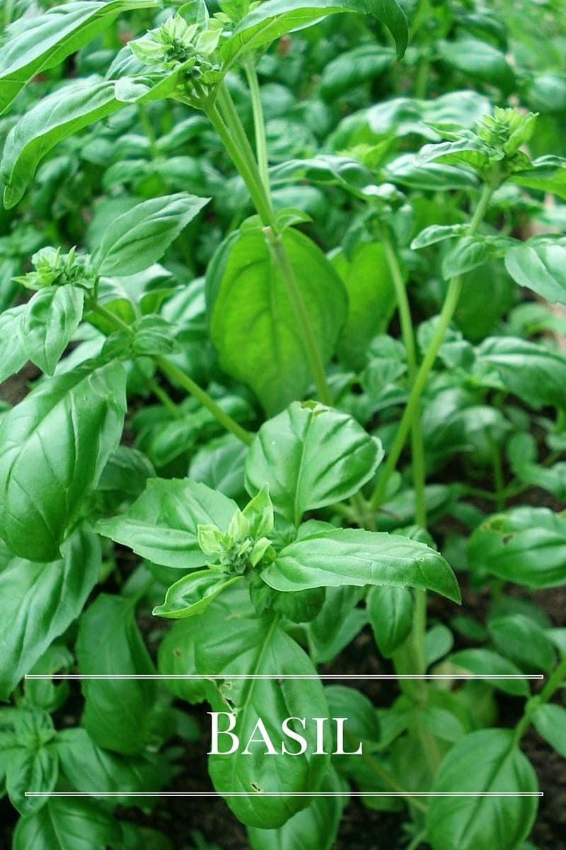 Basil plant for your kitchen garden via flouronmyface.com
