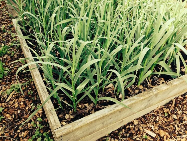 Untreated wood is a good choice to make a raised garden bed via flouronmyface.com