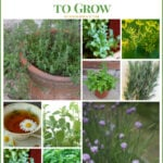 Best Culinary Herbs