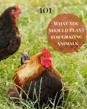 Homesteading 101: What You Should Plant for Grazing Animals via flouronmyface.com