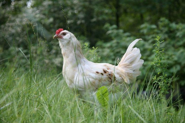Homesteading 101: Chickens via flouronmyface.com