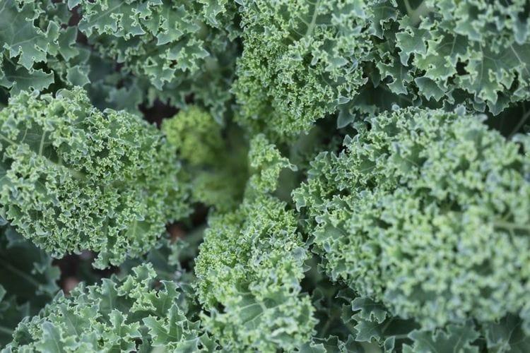 Grazing Livestock-Kale flouronmyface.com