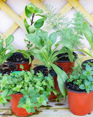 Pots of herb seedlings on a work bench.