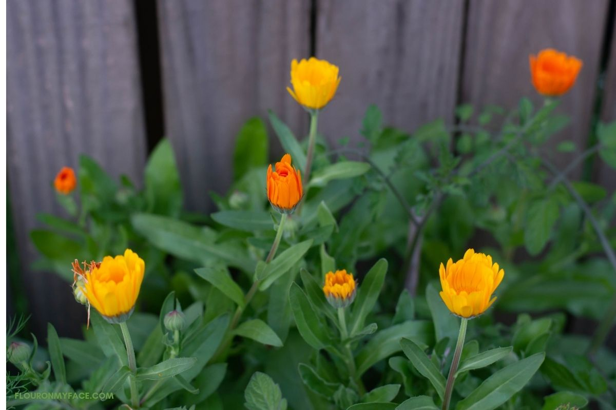 Calendula flower buds in the garden.