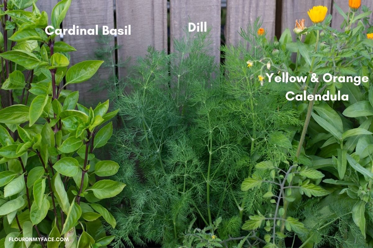 Dill, basil and calendula herbs growing in containers against a wooden fence.