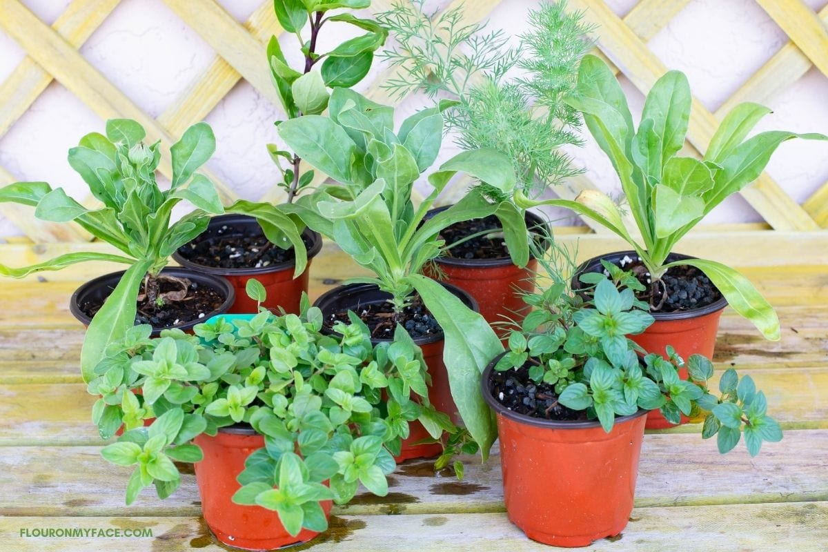 Herb seedlings in 3 inch pots on a potting table.