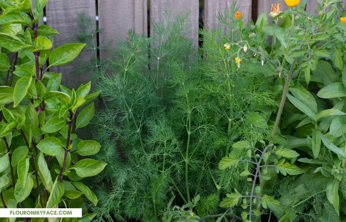 Growing fresh dill in a container garden.